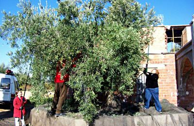 This is how we harvest olives, the traditional way