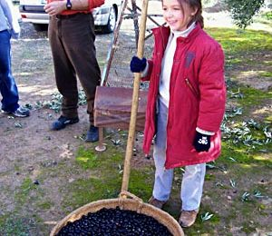 Belen gathers the black olives in a traditional woven basket