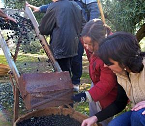 Cleaning the dirt and leaves from the olives